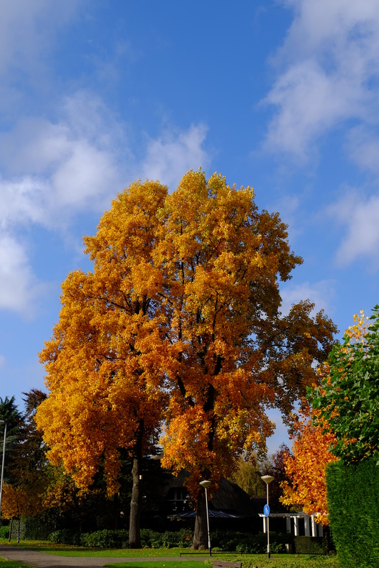 Orange coloured tree.